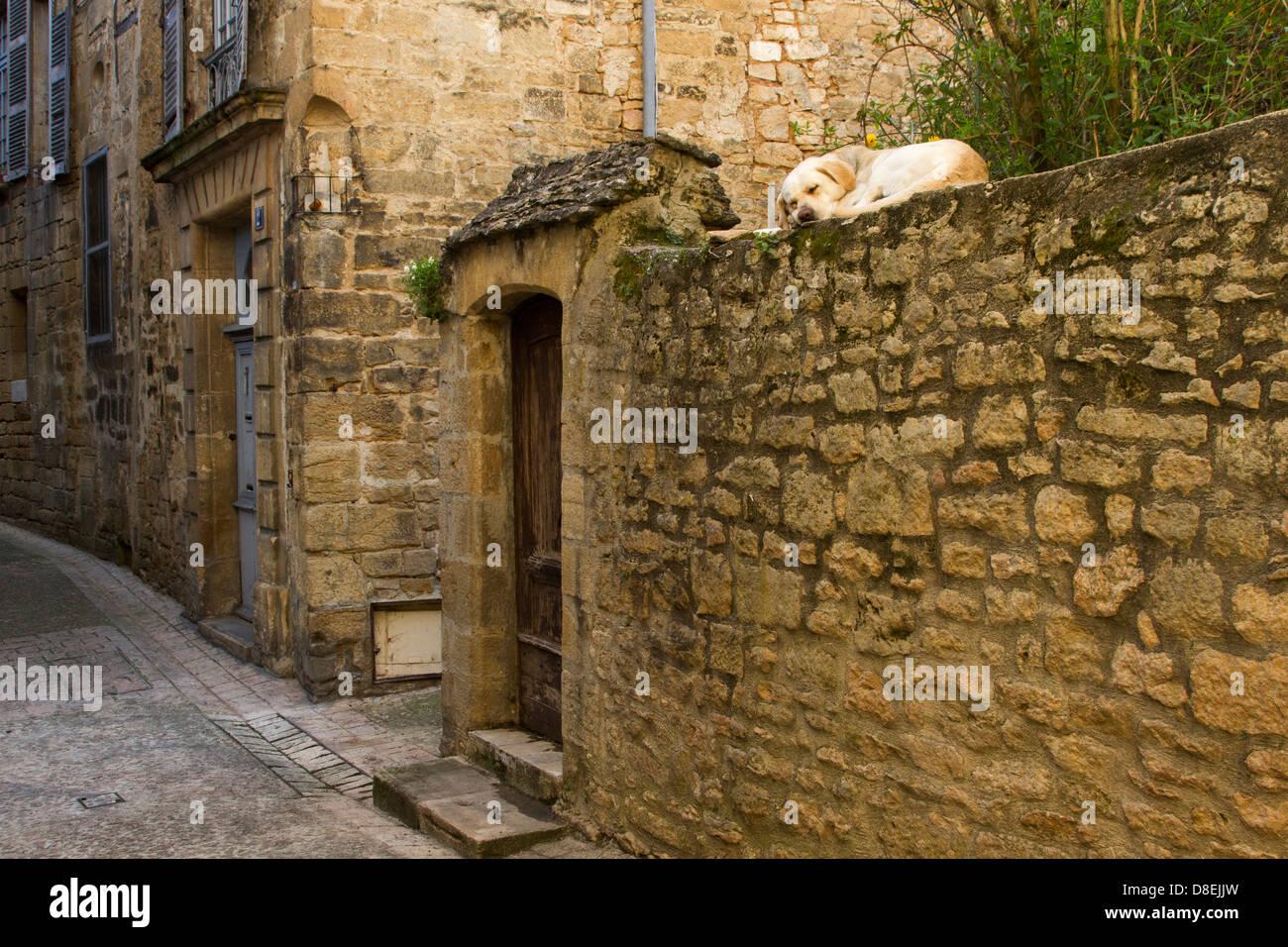 Labrador Retriever dog sleeping on old sandstone wall along a narrow cobblestone street, Sarlat, Dordogne region - Stock Image
