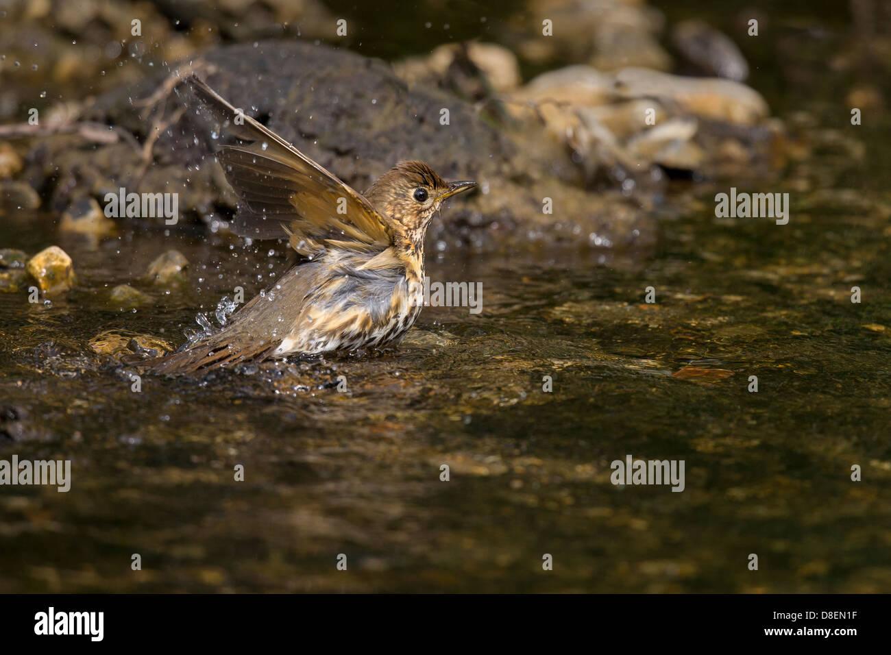 Song Thrush having a bath - Stock Image