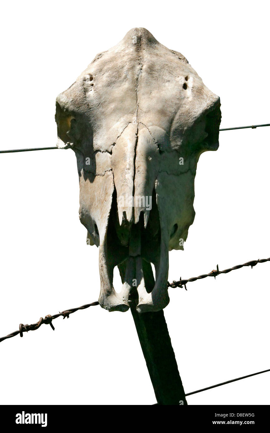 Cow skull on a barbed wire fence Stock Photo: 56875436 - Alamy