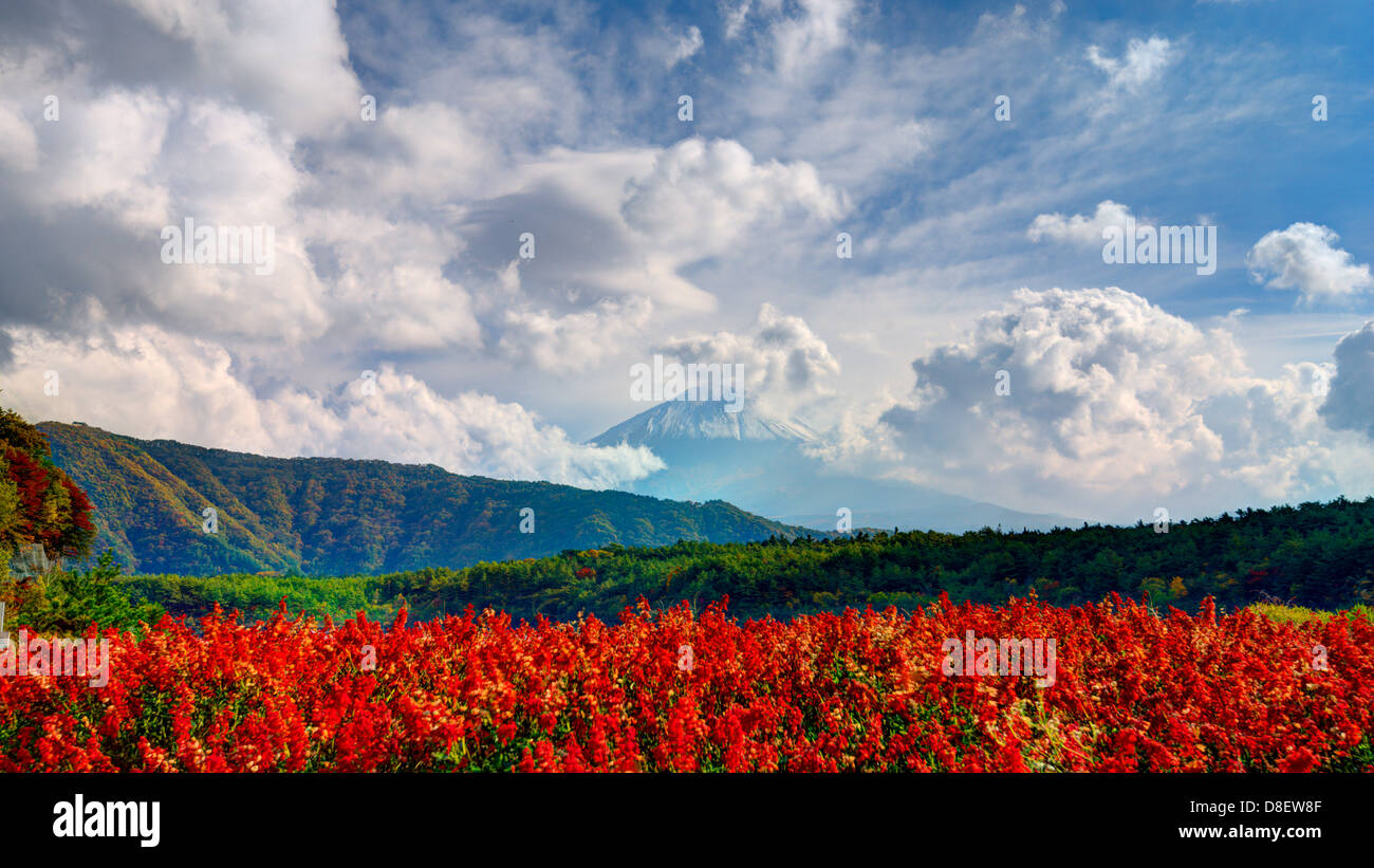 Mount Fuji in the distance behind flowers. Stock Photo