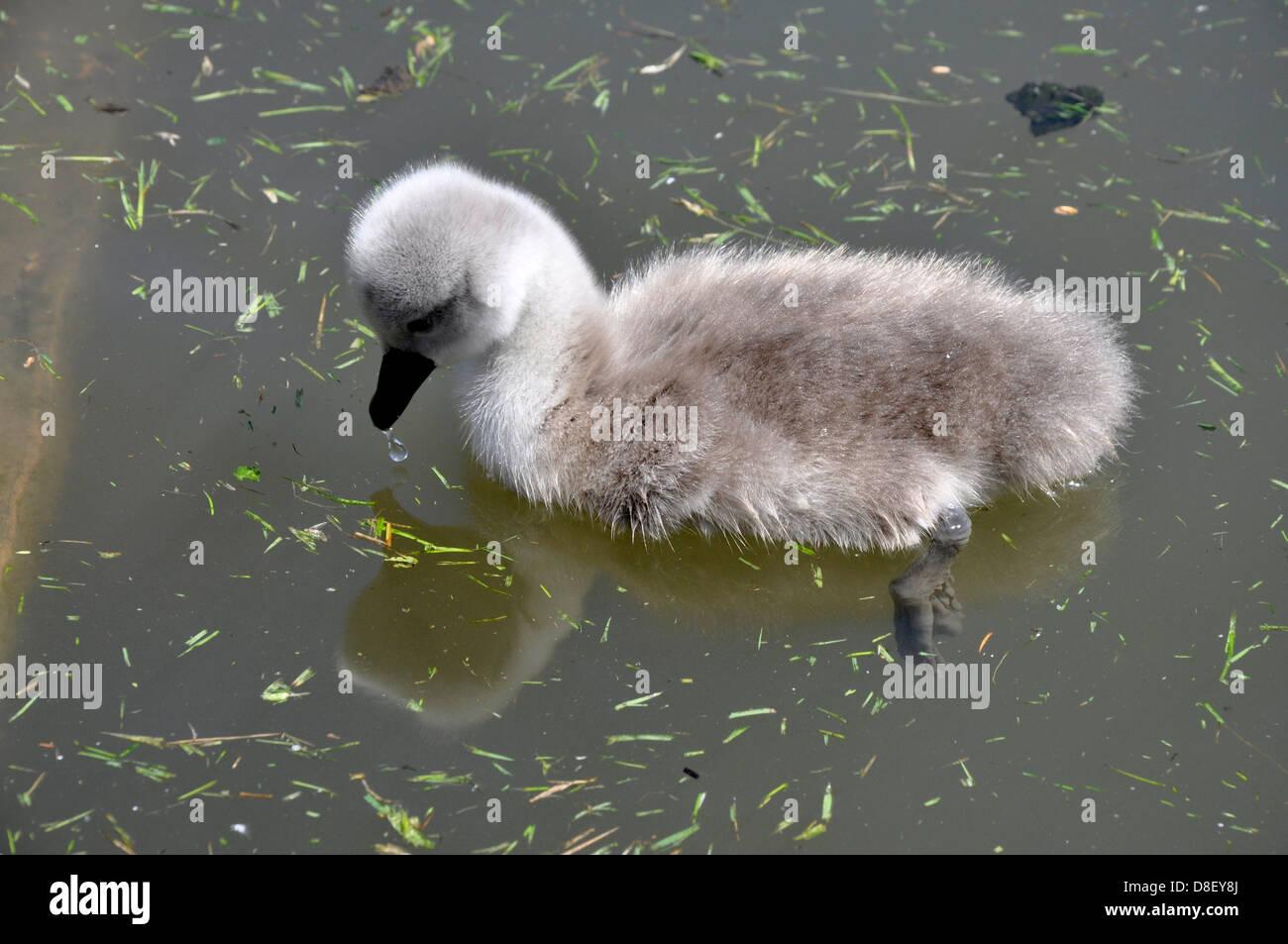 Cygnet Mute swan (Cygnus olor), Abbotsbury Swannery, Dorset Stock Photo