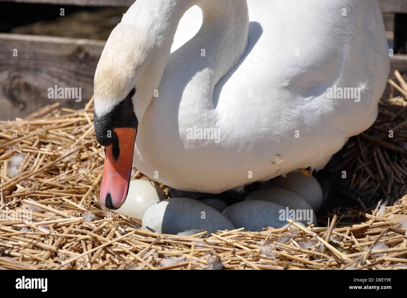 Mute swan (Cygnus olor) on eggs, Abbotsbury Swannery, Dorset Stock Photo