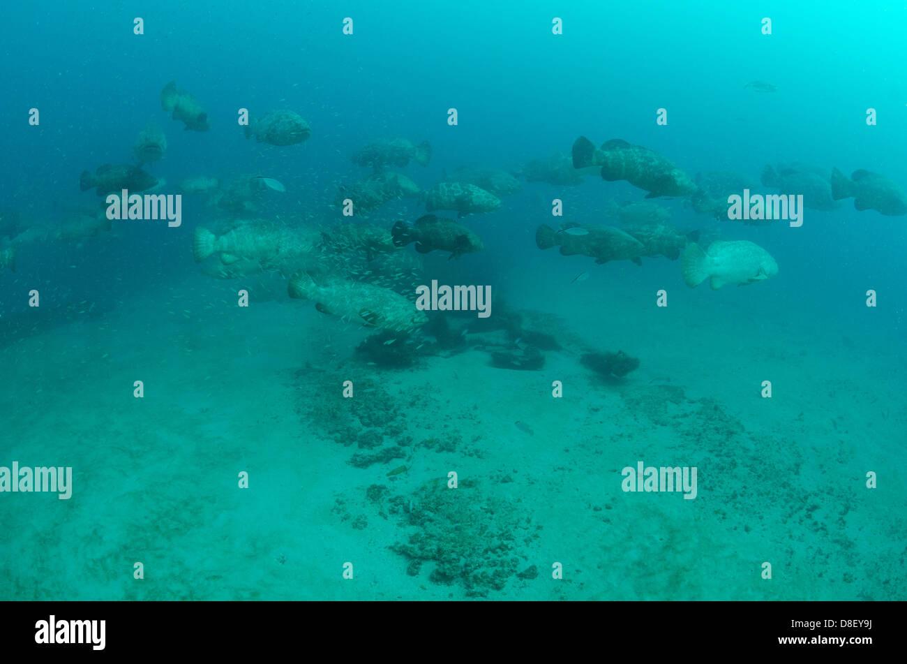 Goliath Grouper Aggregation near Palm Beach, Florida - Stock Image