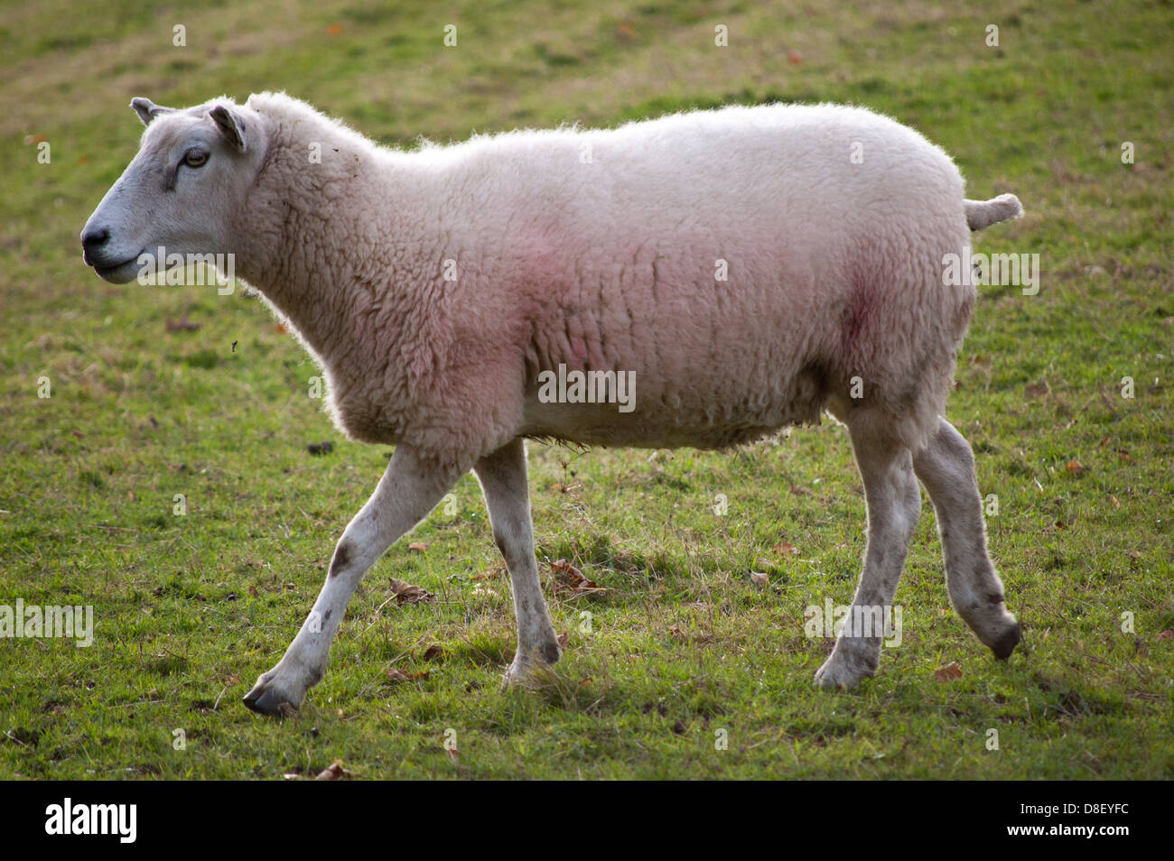 Close-up of sheep in field Stock Photo