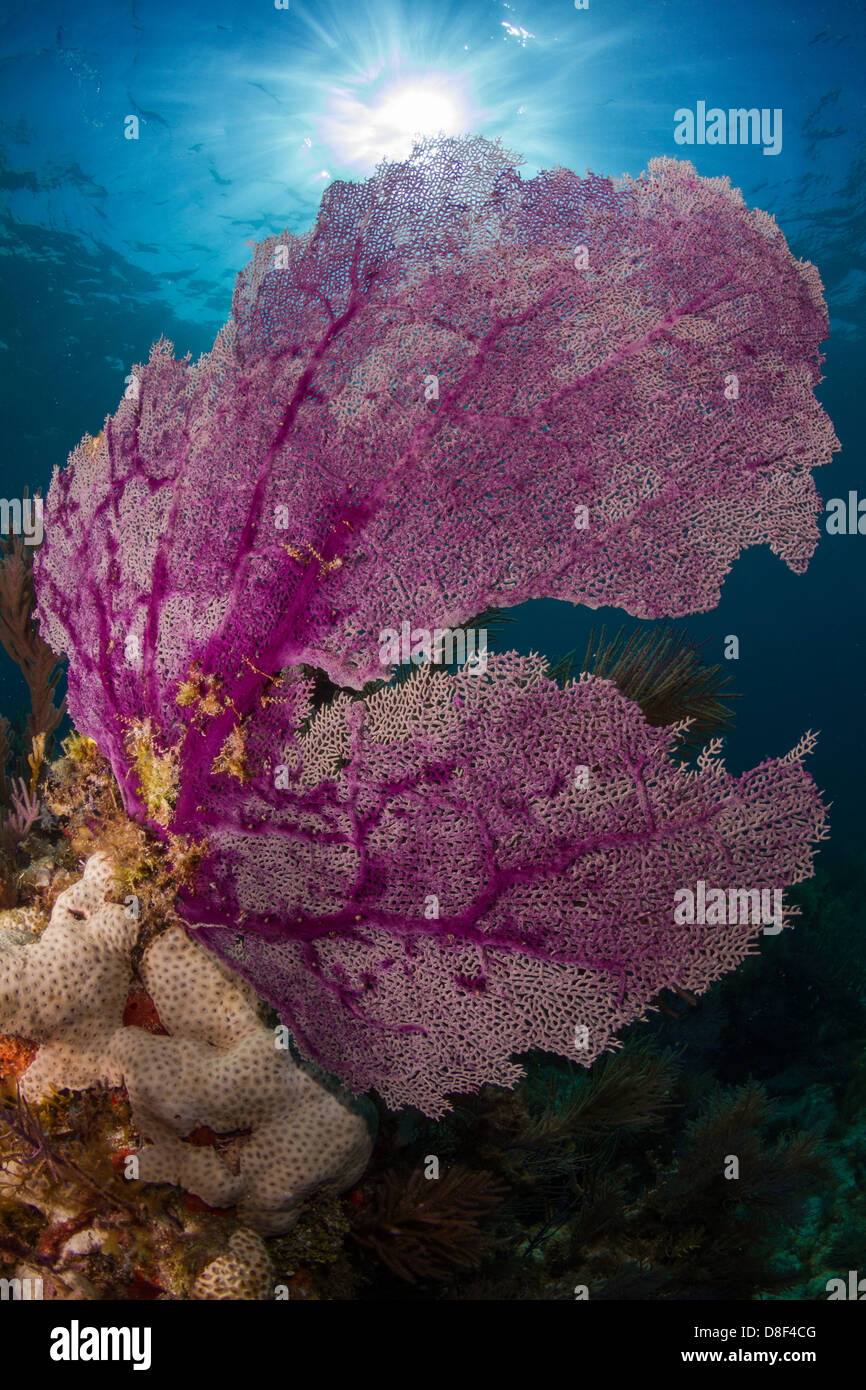 Purple gorgonian sea fan waving in the current atop a reef in Key Largo, Florida. Stock Photo