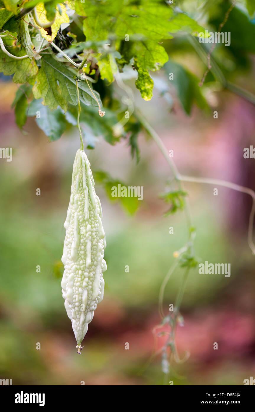 Bitter melon plant farming - Stock Image