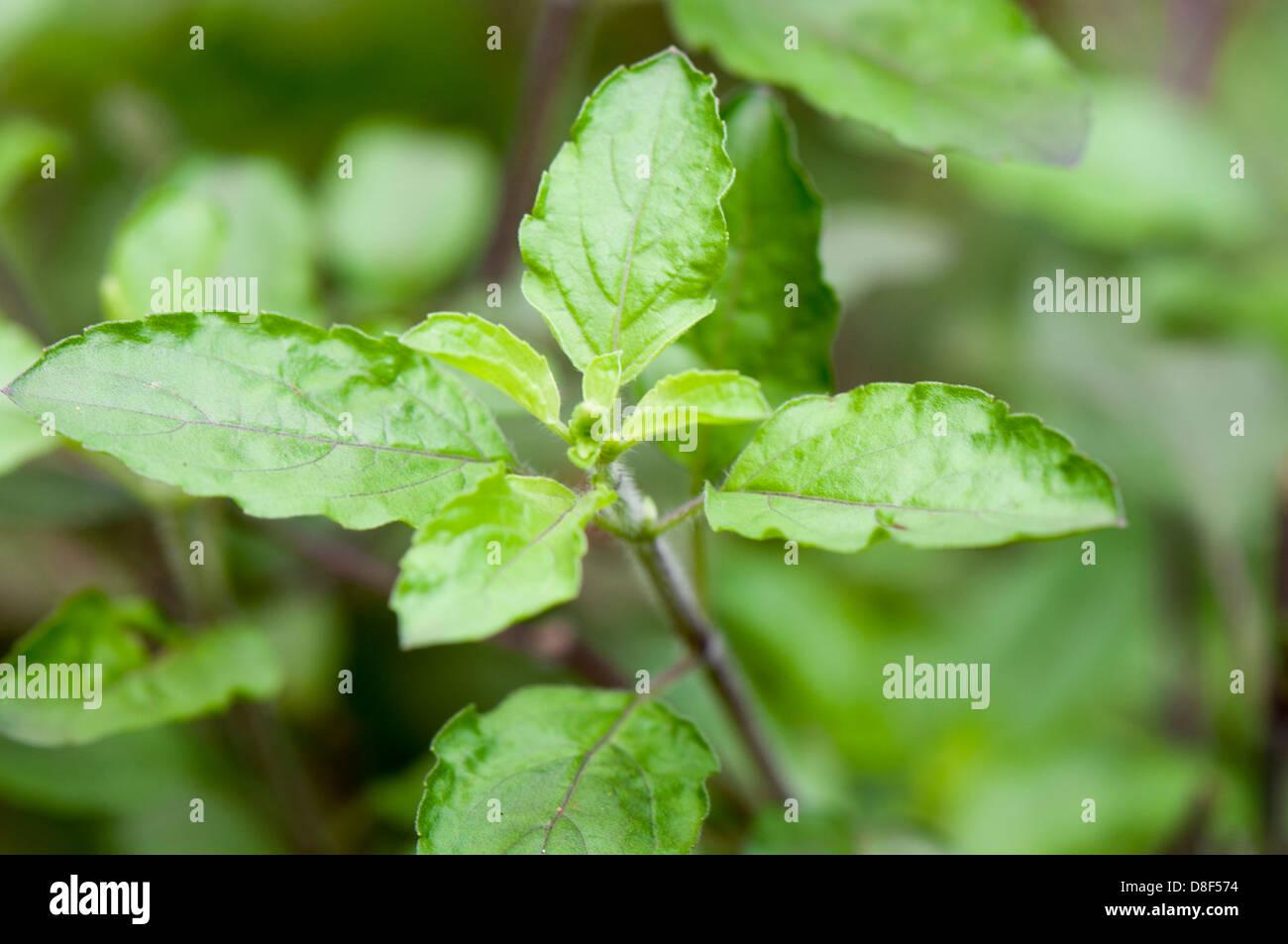 Tulsi Plant Stock Photos & Tulsi Plant Stock Images - Alamy