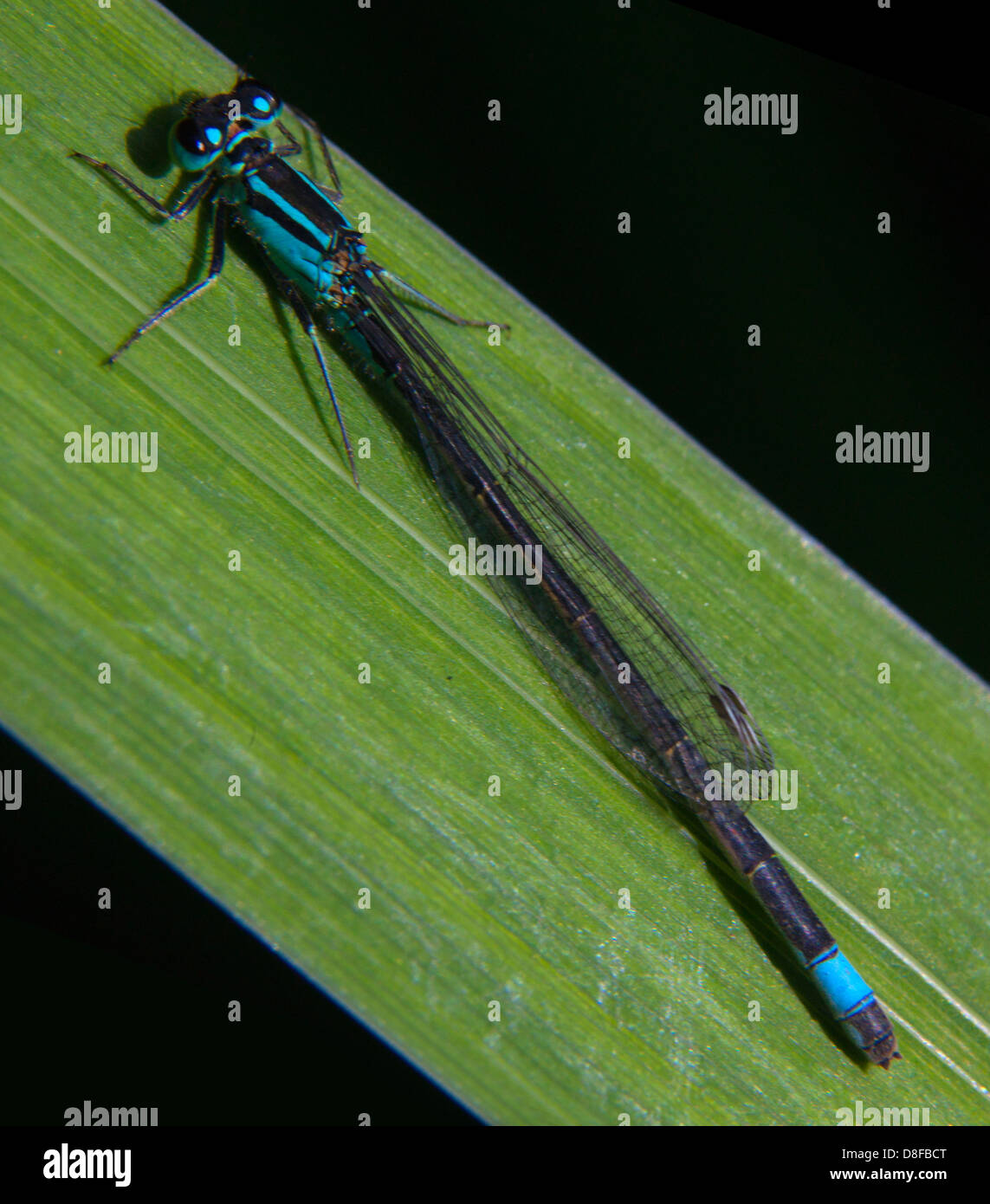Common Blue Damsel Fly on green reed England United Kingdom - Stock Image