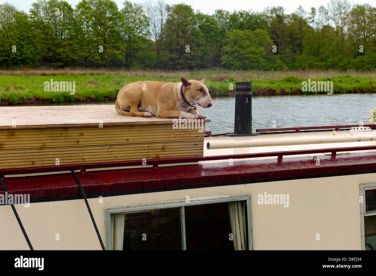 Bull terrier lying on a narrow boat roof watching the scenery float by on the Trent and Mersey canal - Stock Image