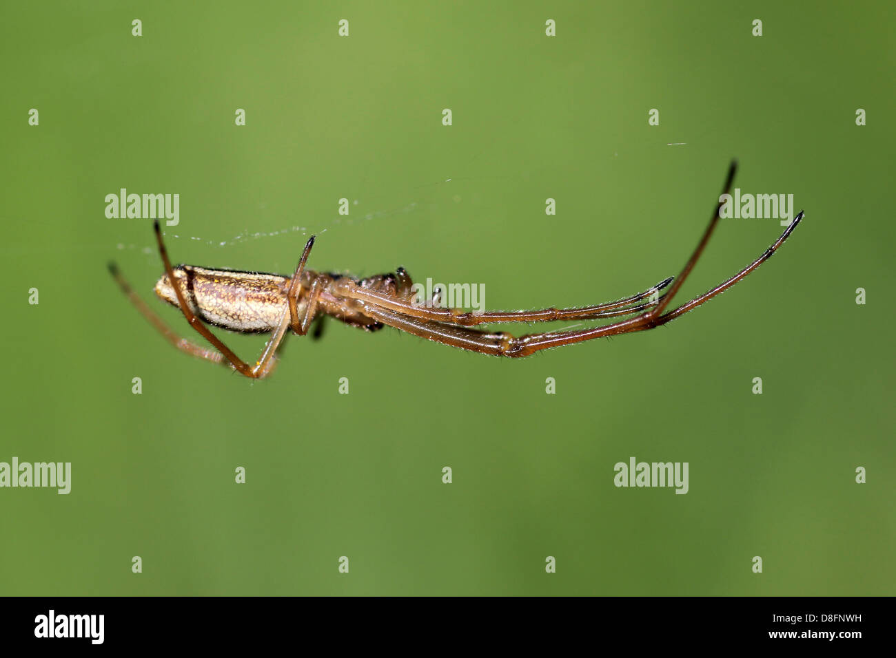 Common Stretch-spider Tetragnatha extensa - Stock Image