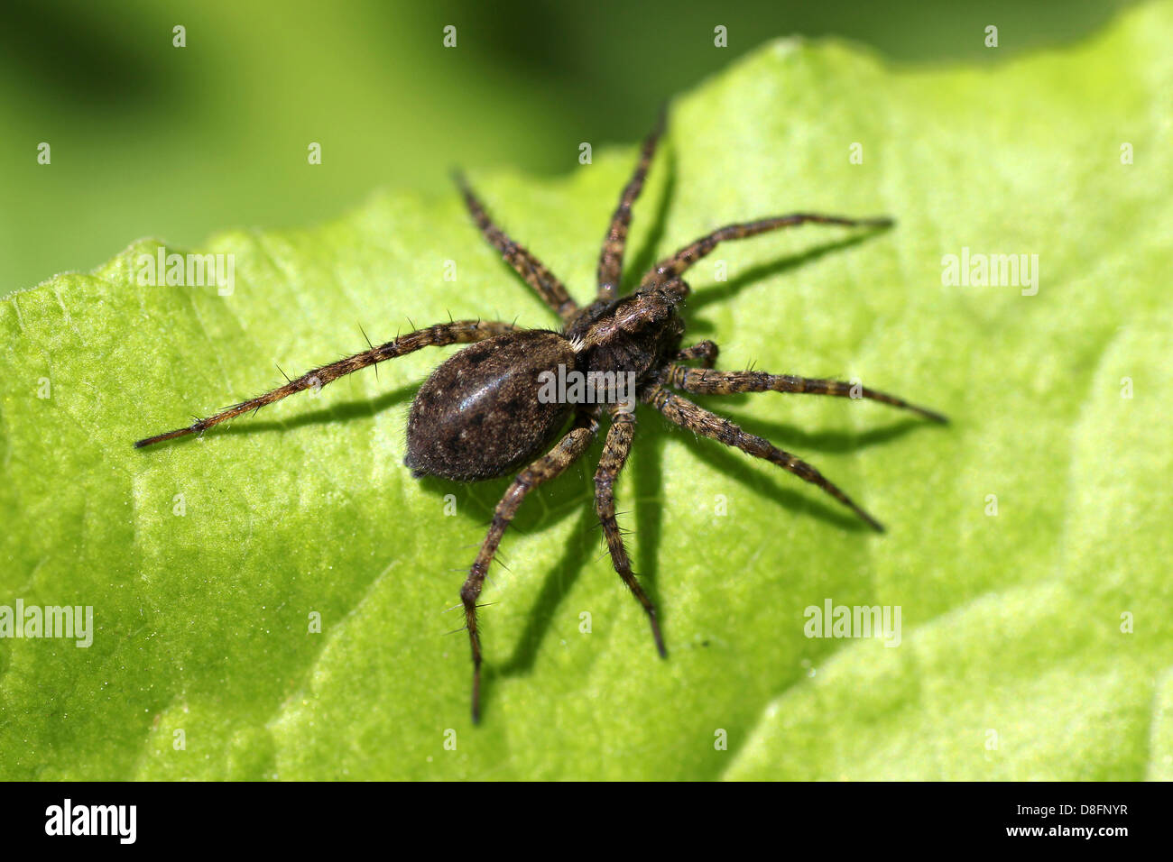 Wolf Spider Pardosa sp. - Stock Image