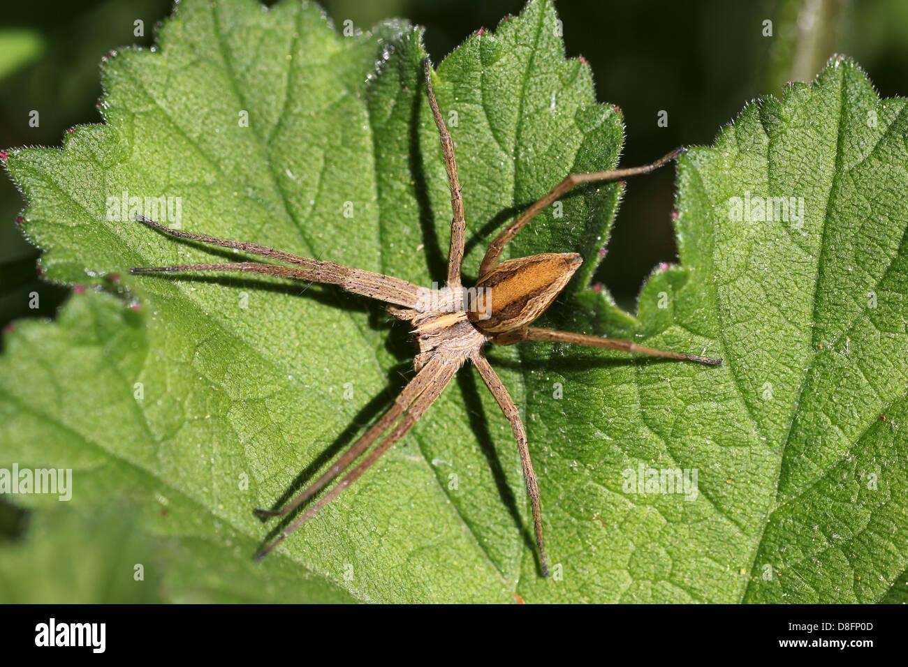 Nursery-web Spider Pisaura mirabilis - Stock Image