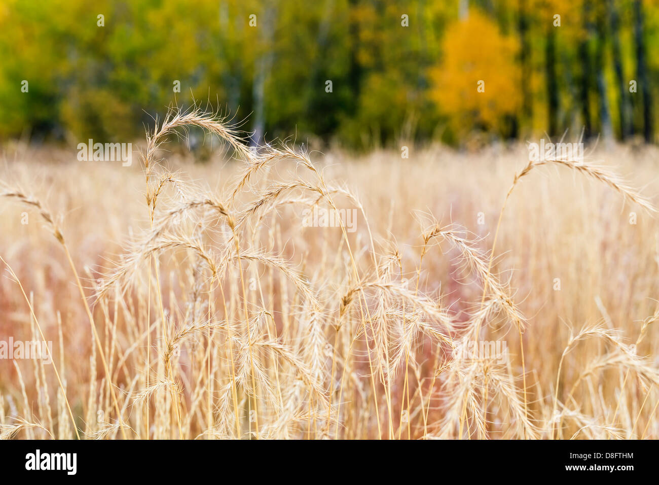 Reclaimed tall grass prairie, Assiniboine Forest, Winnipeg, Manitoba, Canada - Stock Image