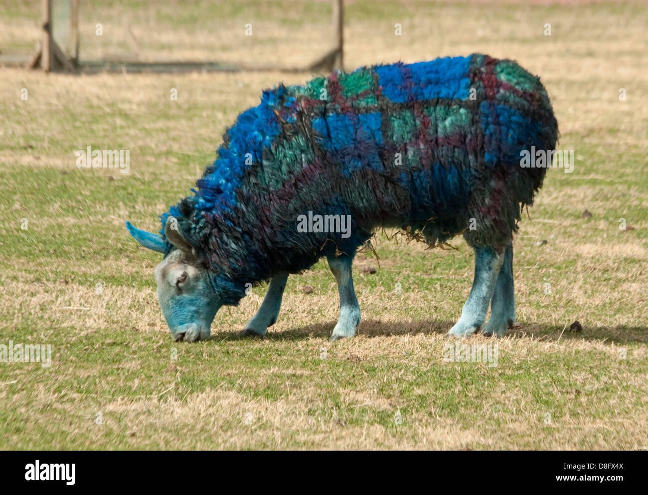 Dyed Tartan Sheep - Stock Image