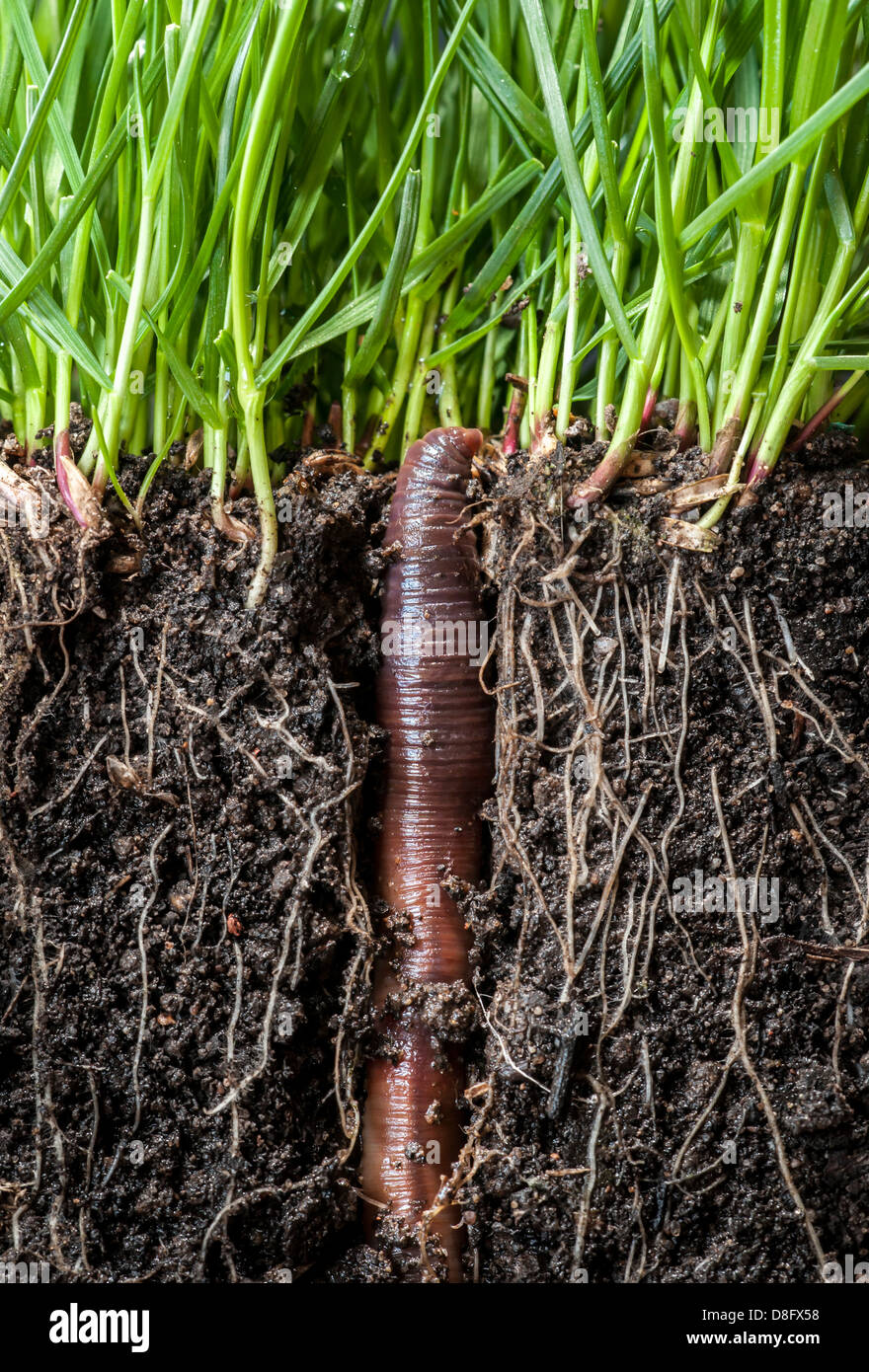 Earthworm emerging from its burrow - Stock Image