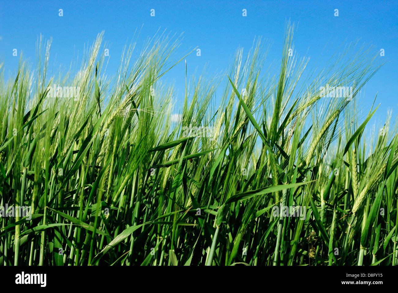 wheat field in sping - Stock Image