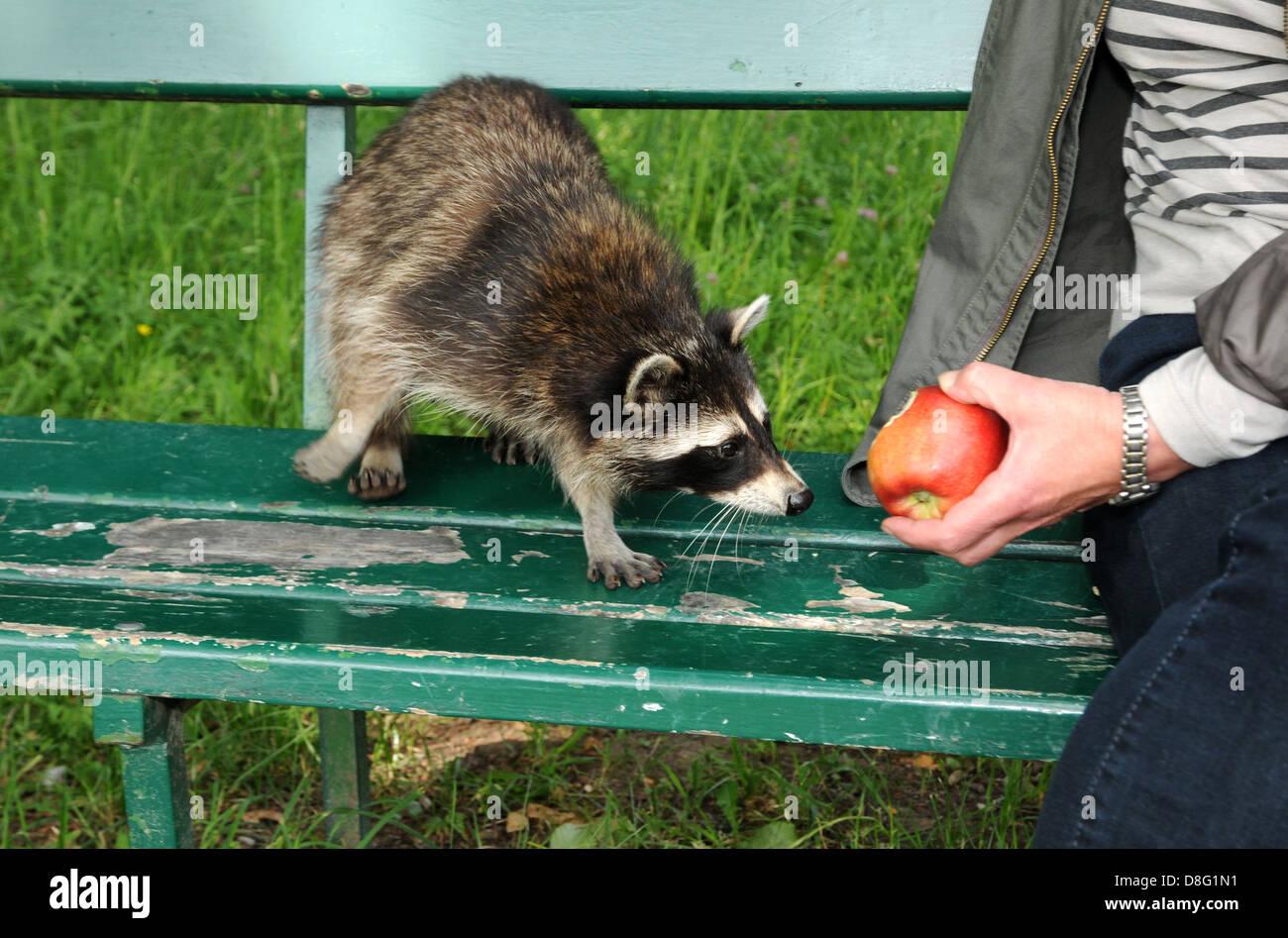 raccoon feed - Stock Image
