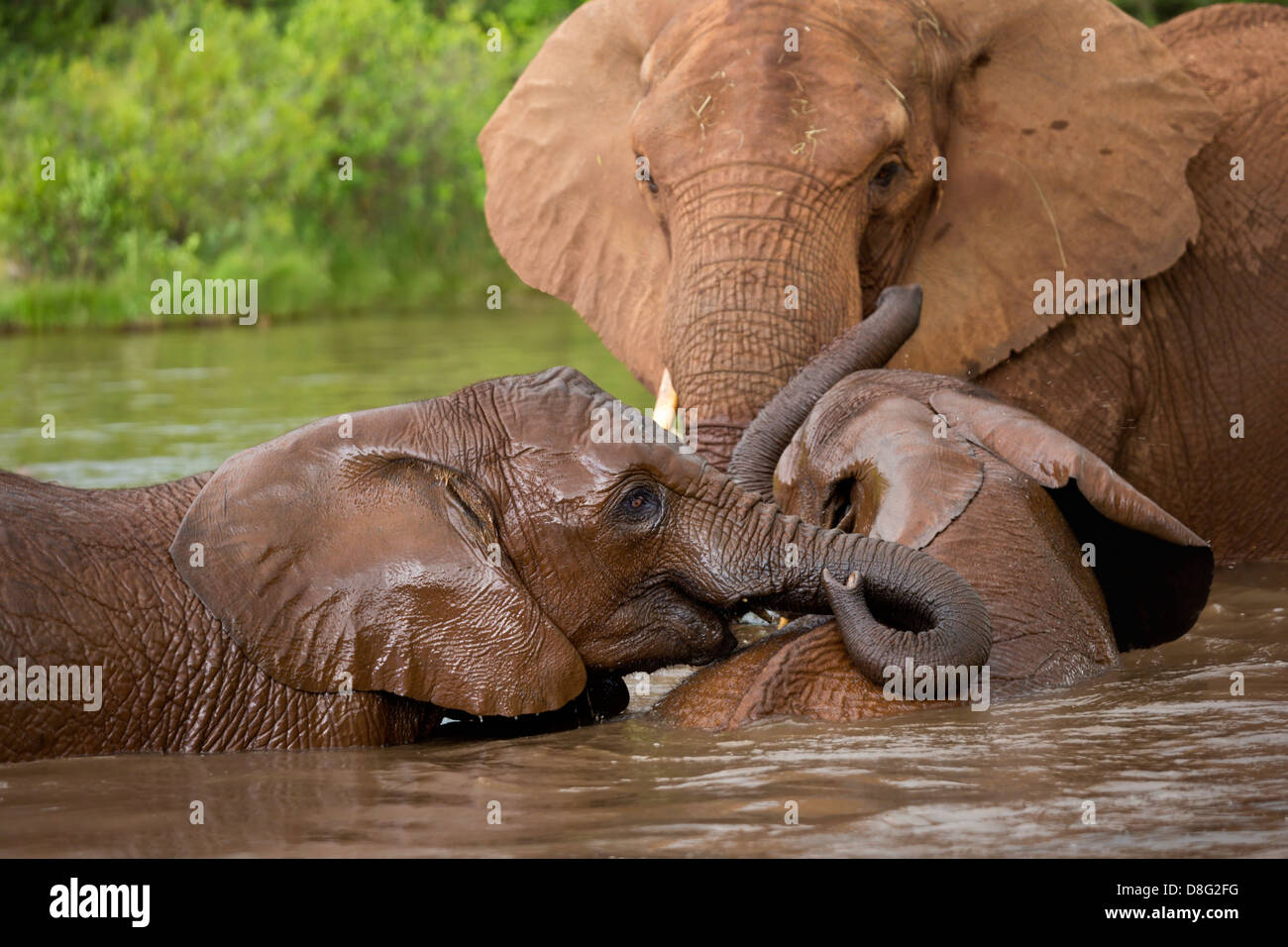 African elephant (Loxodonta africana)Mother and young calves having a swim.South Africa - Stock Image