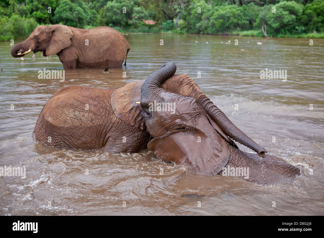 African elephant (Loxodonta africana)Young calves playing in water.South Africa - Stock Image