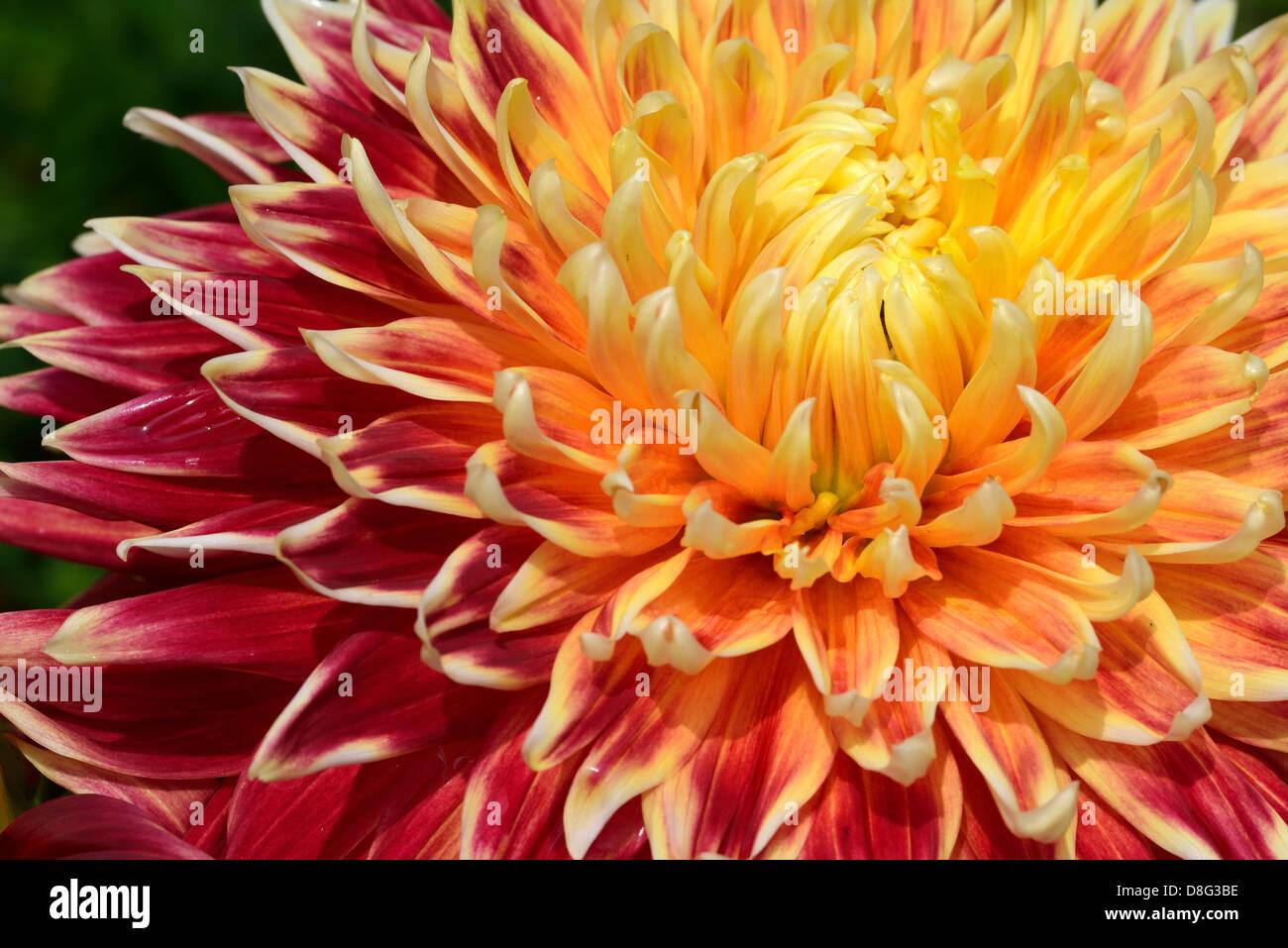 Dahlia Symbolism Stock Photos Dahlia Symbolism Stock Images Alamy
