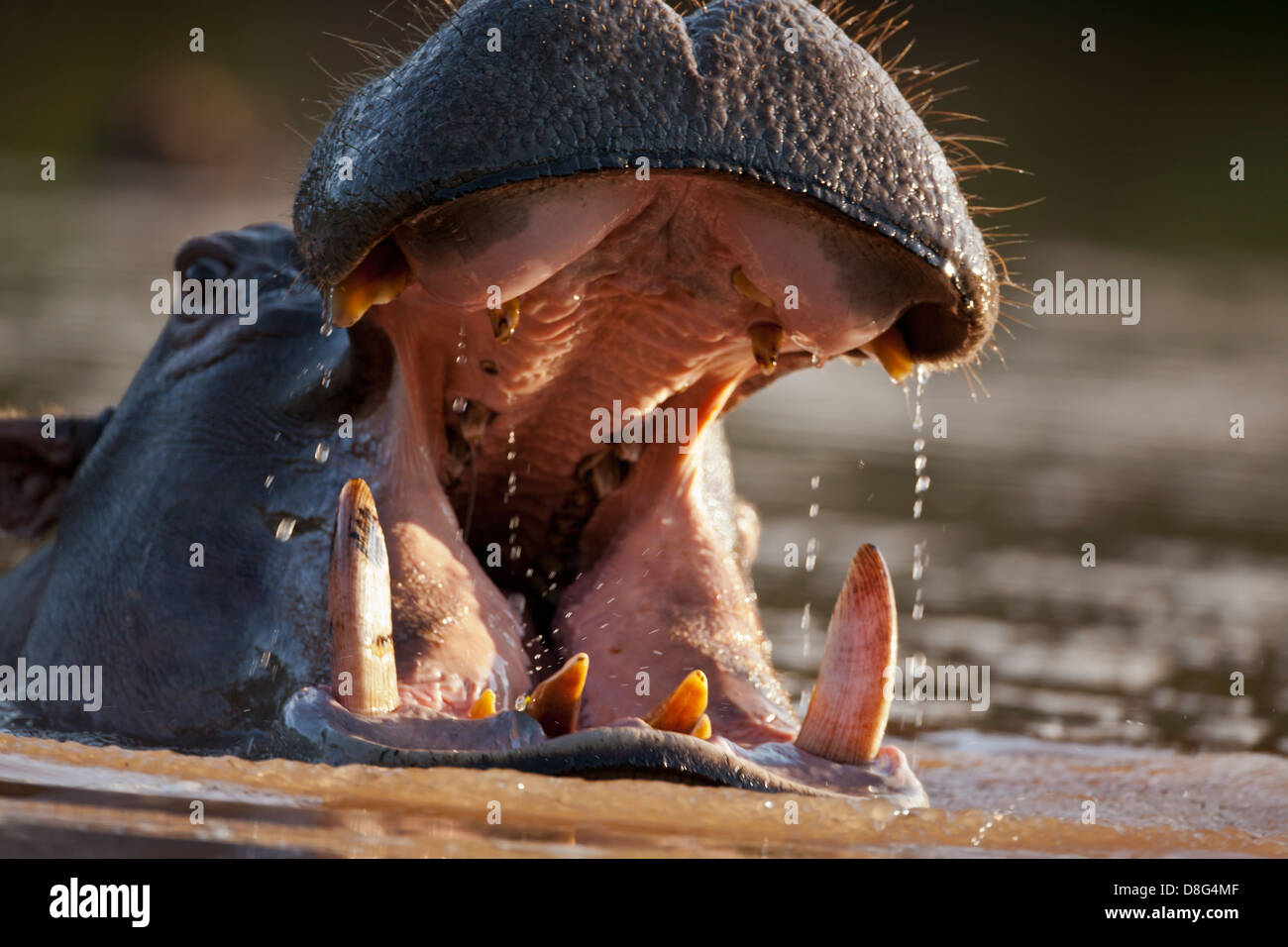 Hippopotamus(Hippopotamus amphibius) with mouth open in aggressive warning posture.South Africa - Stock Image