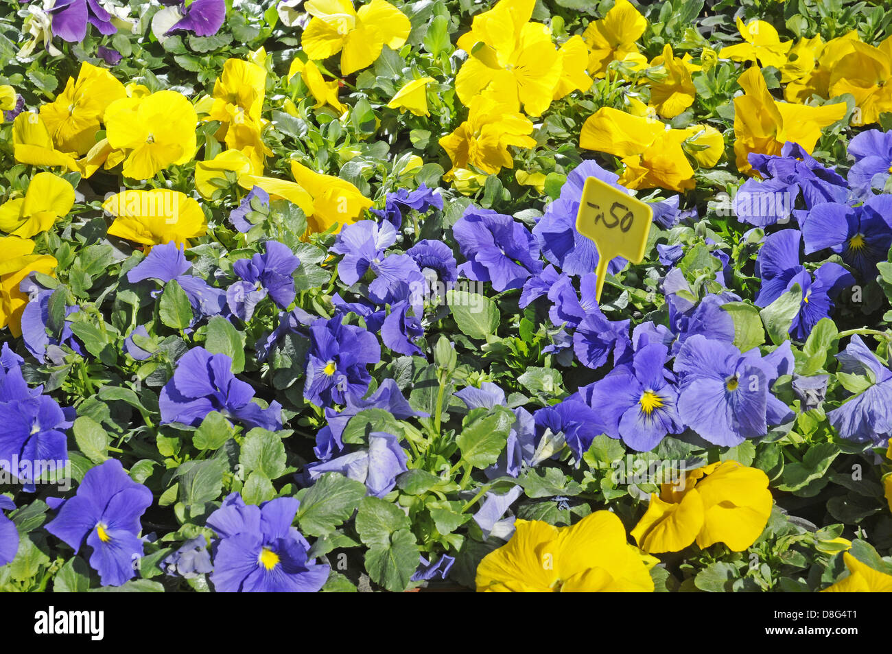 Pansies for sale - Stock Image