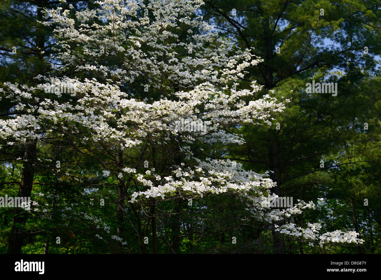 Flowering Dogwood tree in a forest with pines in Humber College Arboretum Toronto - Stock Image