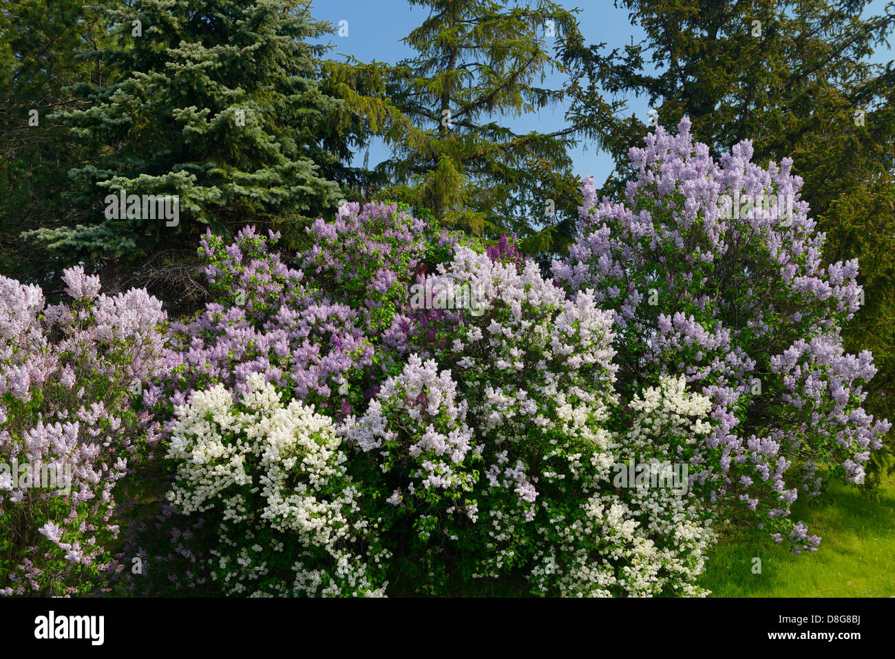 White to purple Common Lilac bushes flowering beside Spruce trees in Spring Toronto Canada - Stock Image