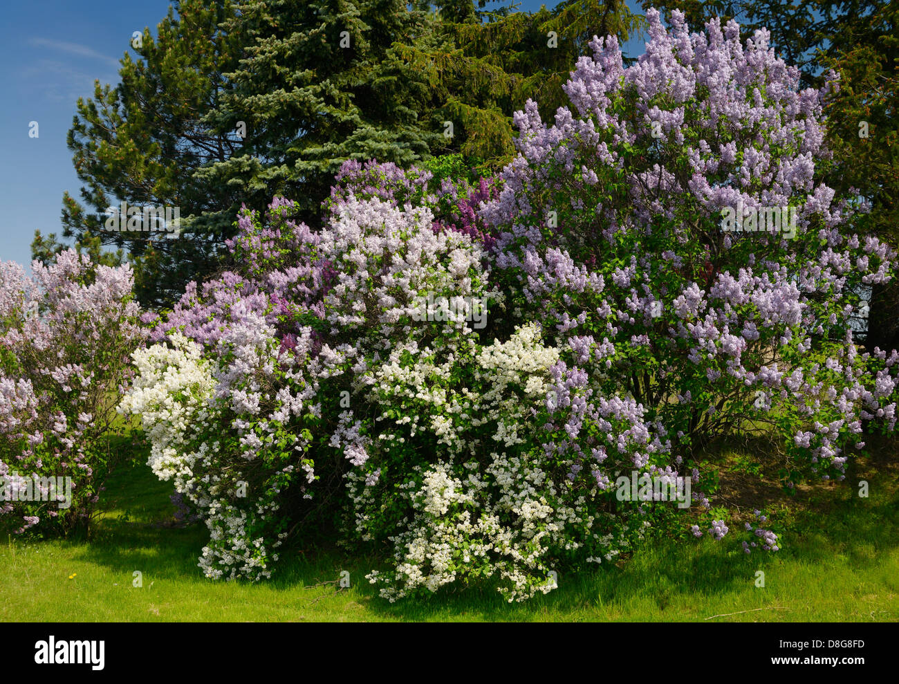 Naturalized Common Lilac bushes flowering beside Spruce trees in Spring Toronto Canada - Stock Image