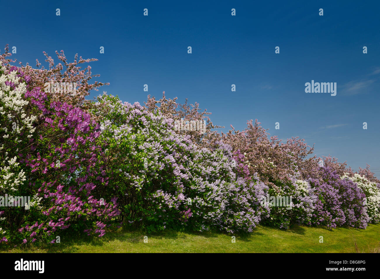 Row Of Common Lilac Bushes Flowering Beside Pink Crabapple