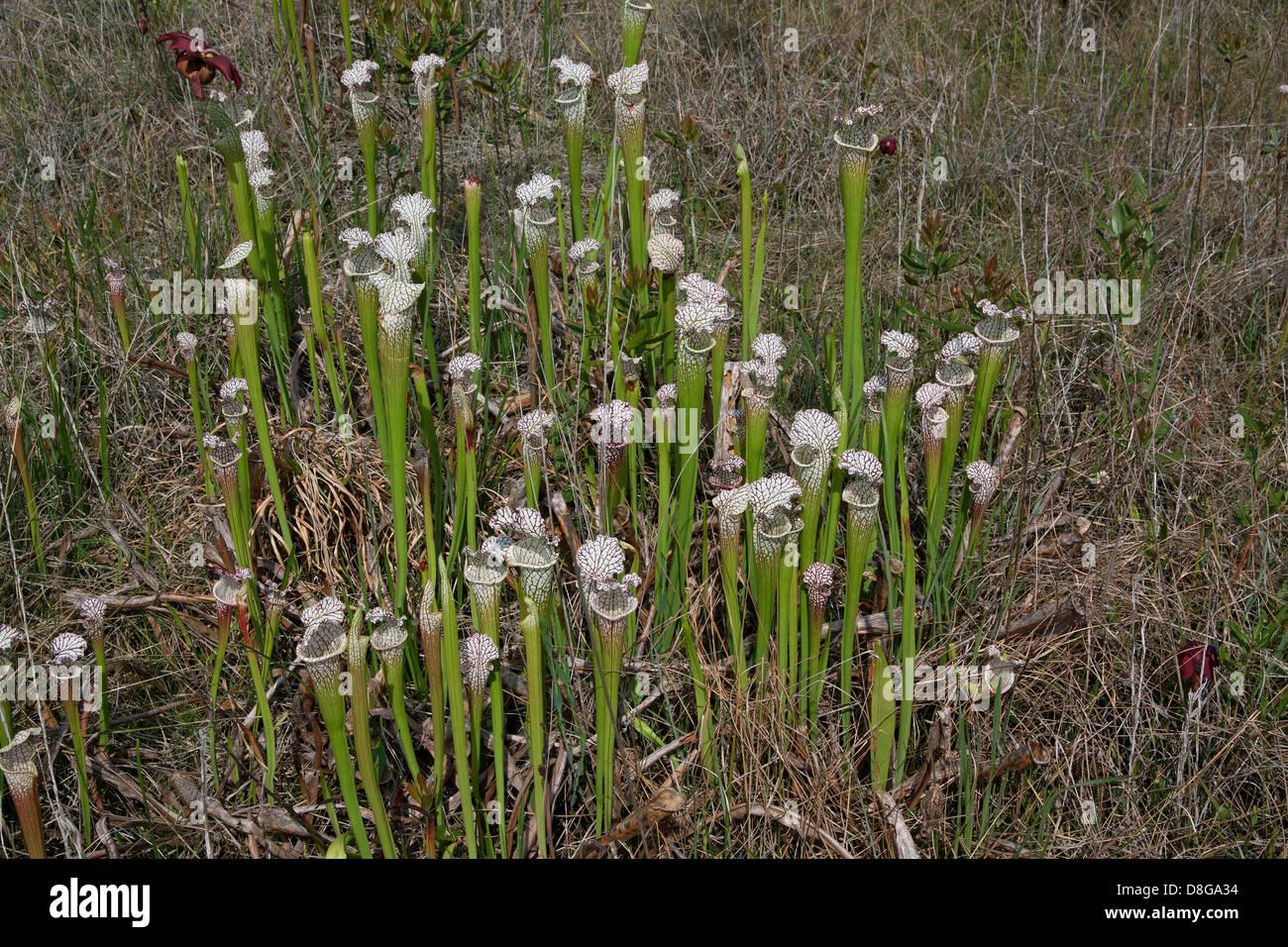 Carnivorous White-topped Pitcher Plants in Seepage bog Sarracenia leucophylla Florida USA - Stock Image