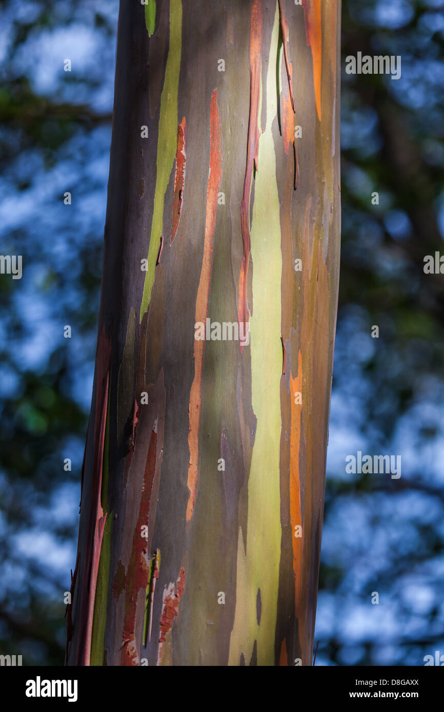 Colourful bark of an eucalyptus tree - Stock Image