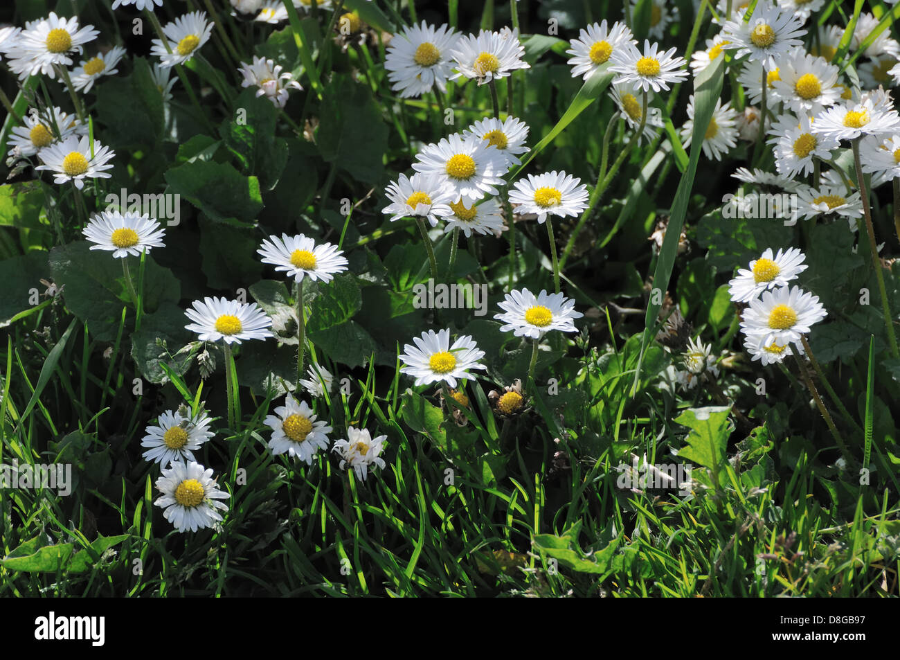 A Clump Of Daisy Flowers Stock Photo 56908467 Alamy