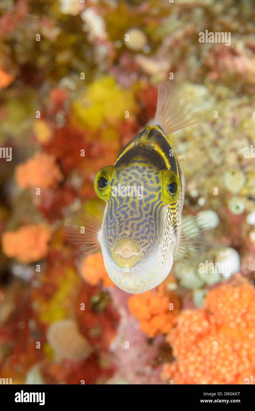 Mimic filefish, Paraluteres prionurus at Four Kings, near Misool Island, West Papua, Indonesia. - Stock Image