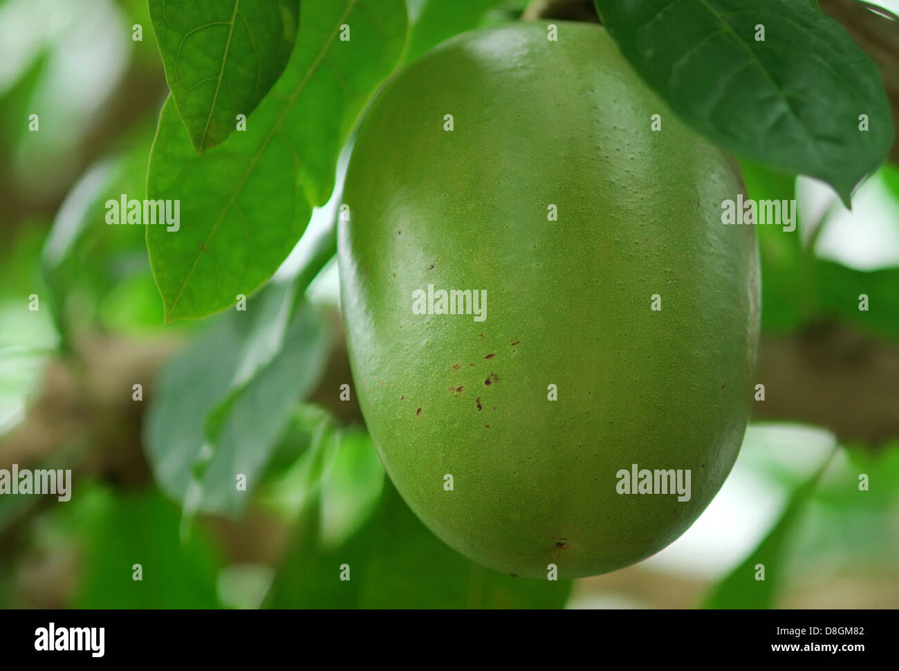 calabash tree - Stock Image