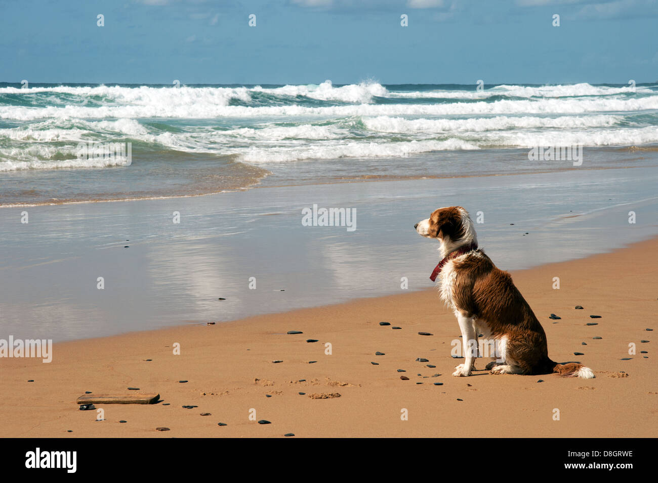 watchful dog @ the beach - Stock Image