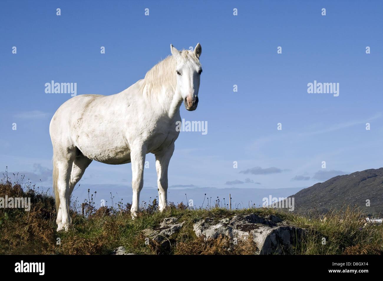 Poney connemara d