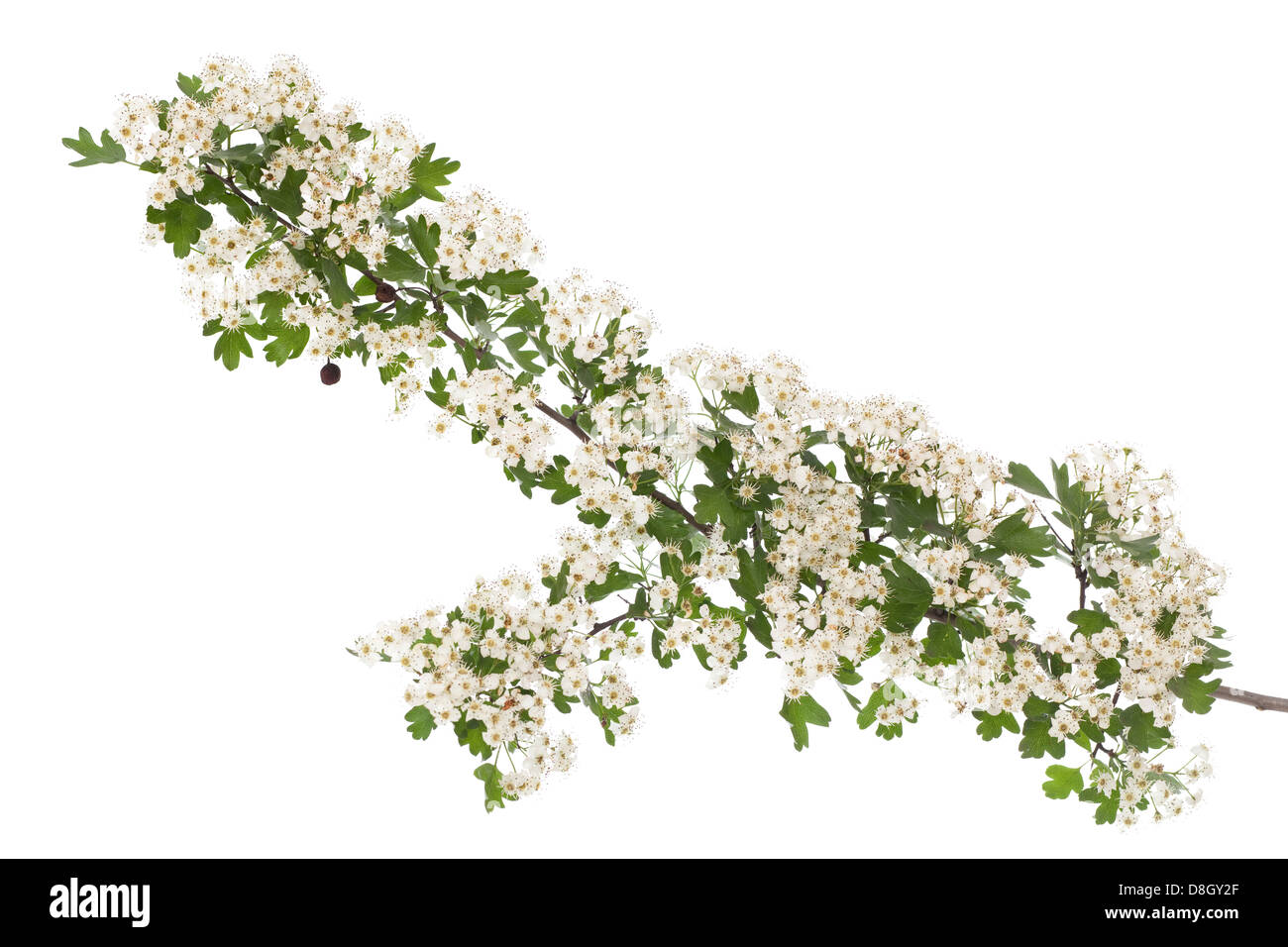 hawthorn branch with flowers on white background - Stock Image