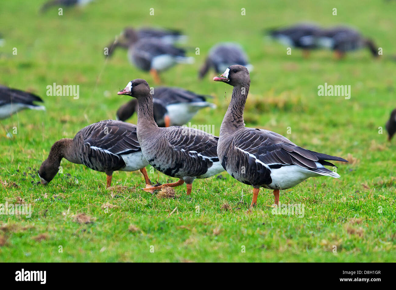 Group of Greater White Fronted Geese in meadows at lower Rhine. Blässgänse am Niederrhein. - Stock Image