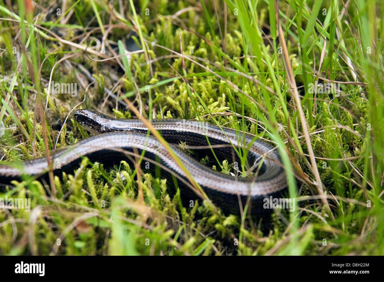 Blindworm Stock Photo