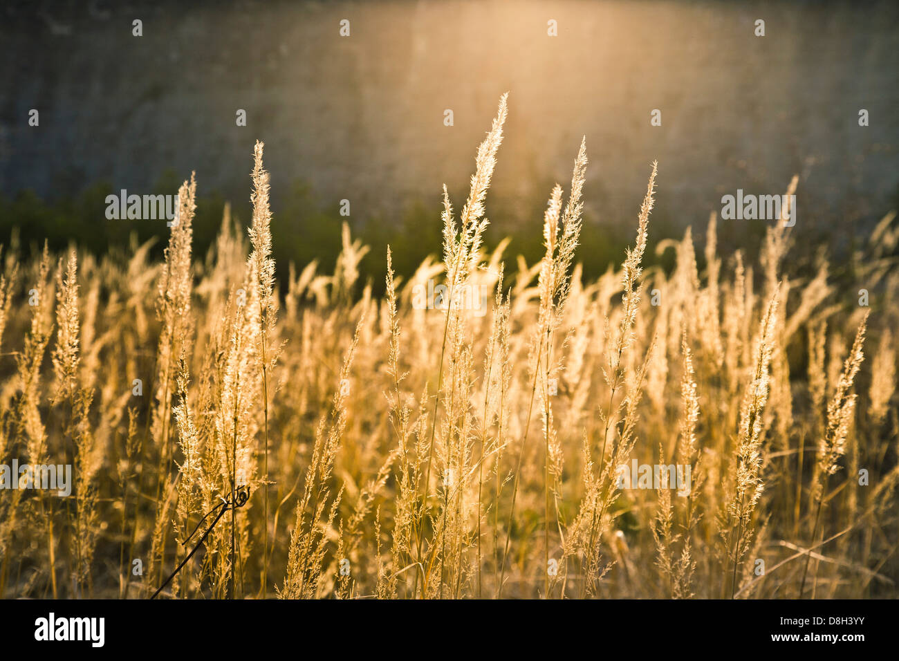 Blades of grass in the backlight - Stock Image