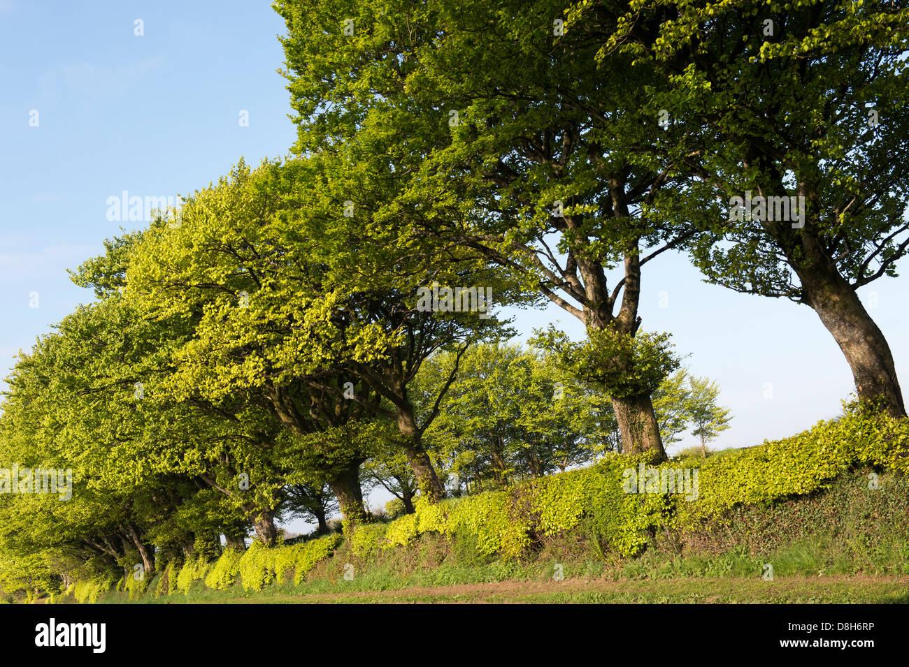 Hornbeam trees along a Devon road - Stock Image