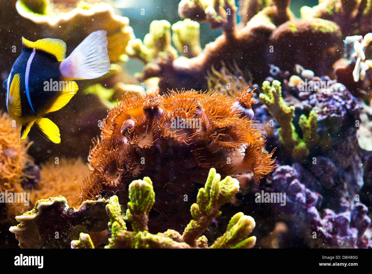 Zoanthus spp - colorful coral sea - Stock Image