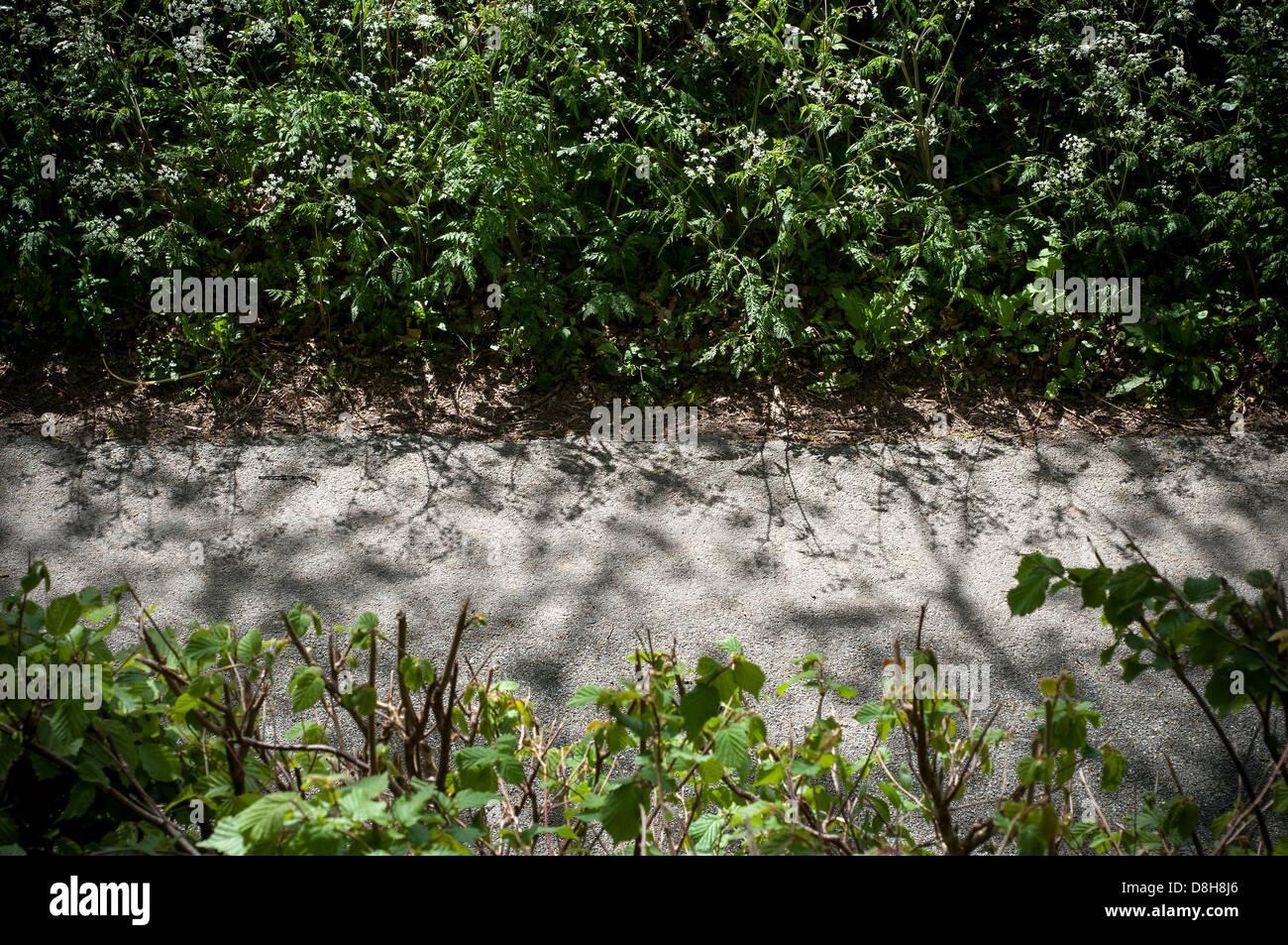 cowslip hedge,hedgerow,Devon hederow,dapple,dappled - Stock Image