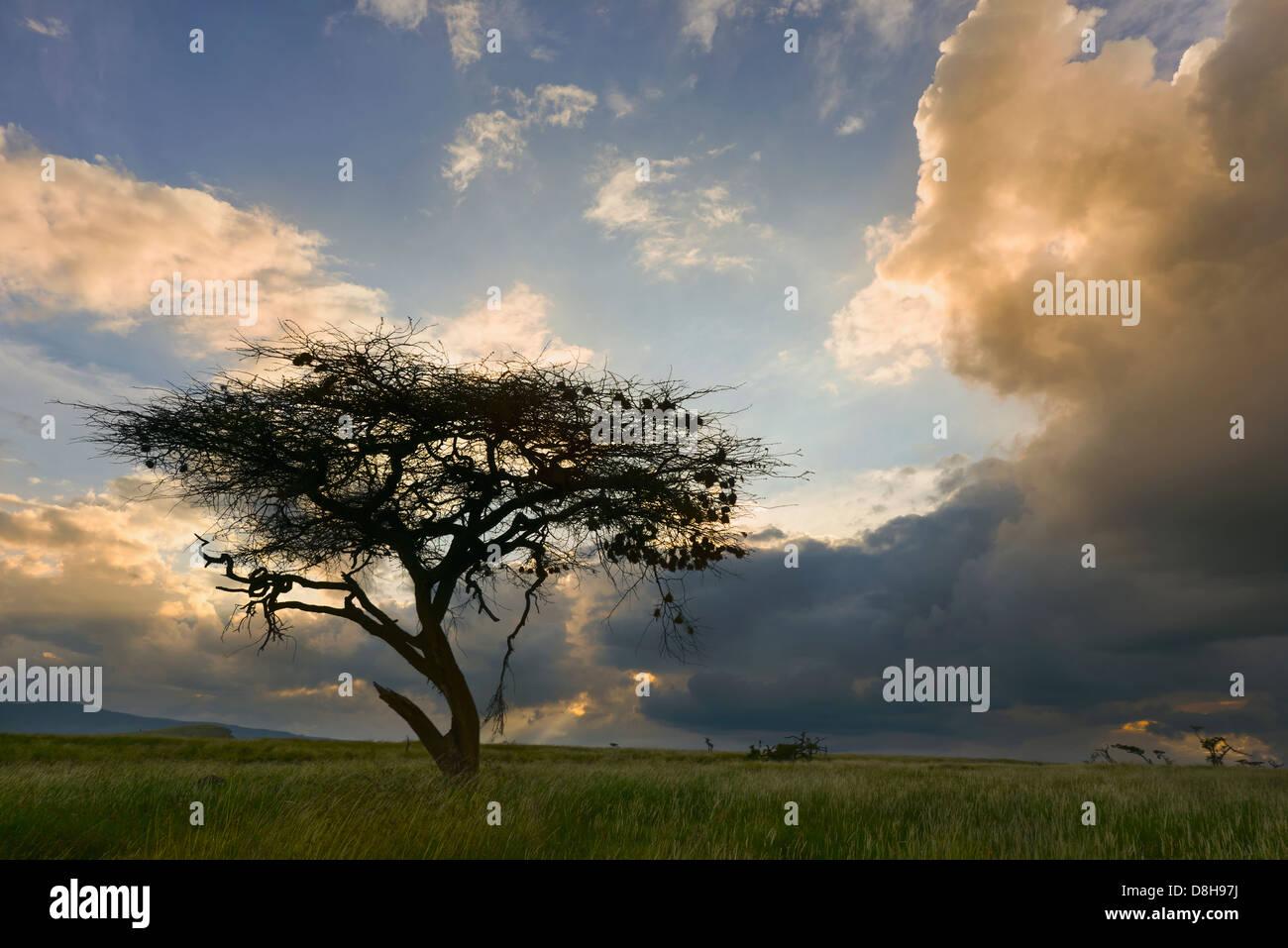 Acacia tree at sunset.Kenya - Stock Image