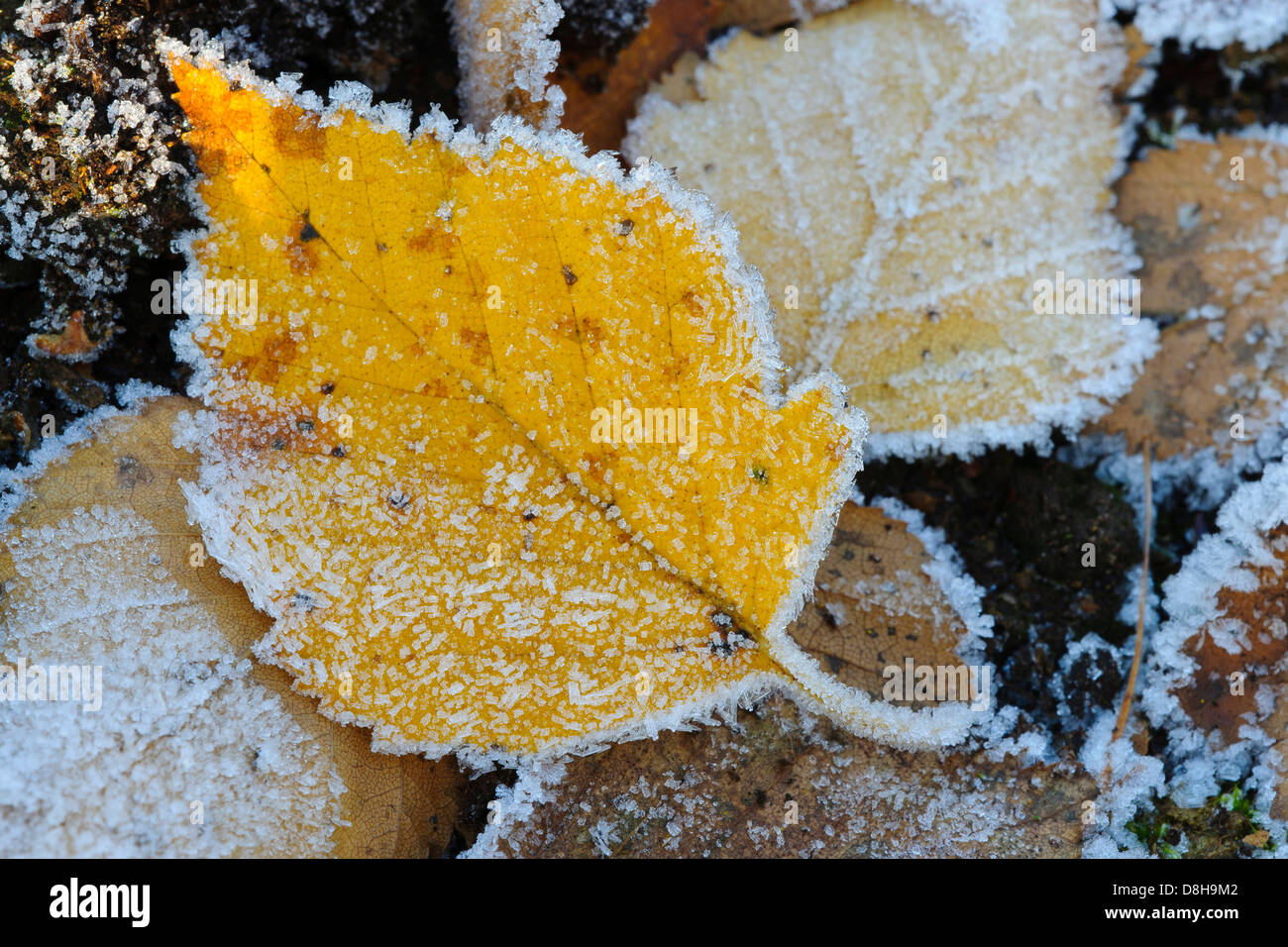 birch leaves with hoarfrost, goldenstedter moor, lower saxony, germany - Stock Image