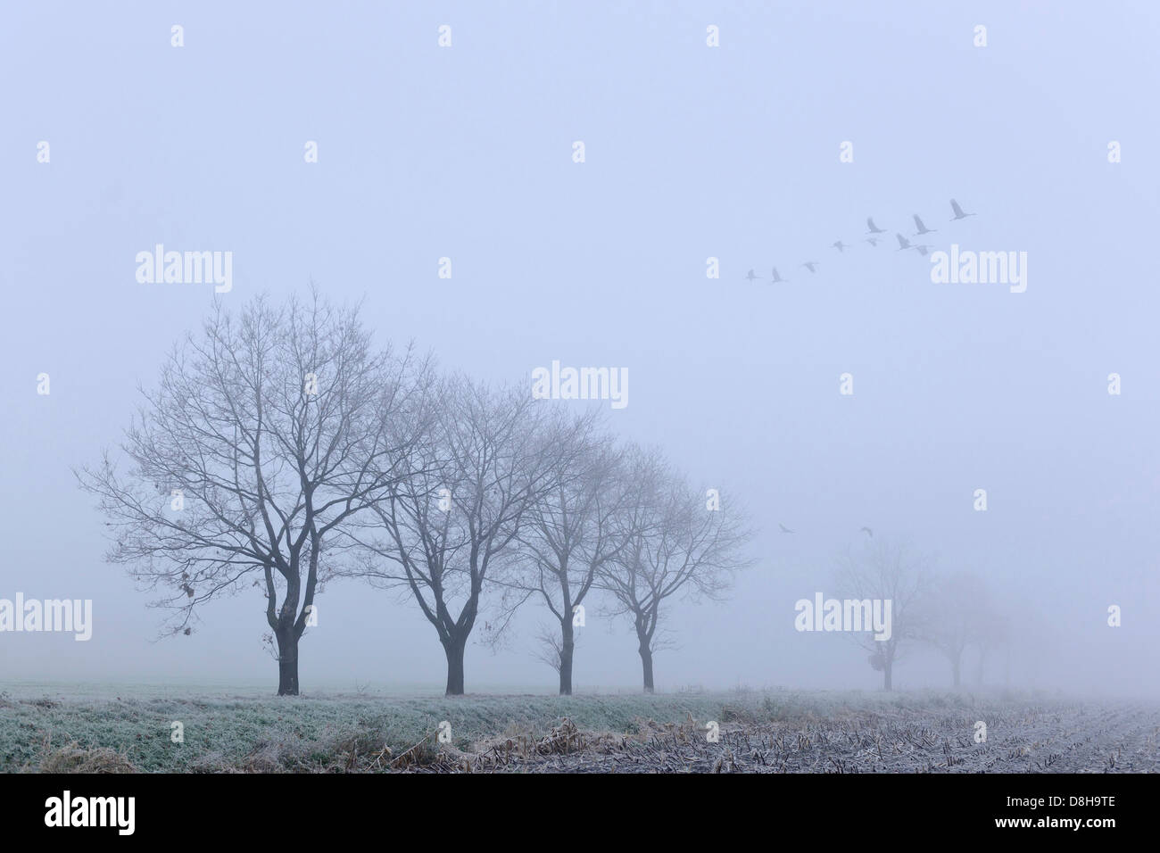 cranes on a november morning, goldenstedter moor, lower saxony, germany - Stock Image