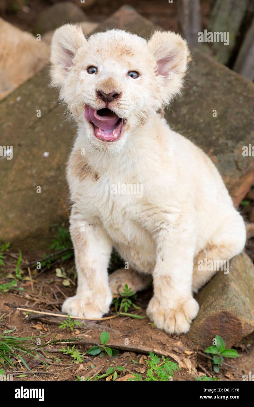 White Lion cub yawning at the camera - Stock Image