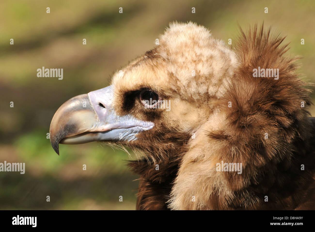 vulture's habit - Stock Image