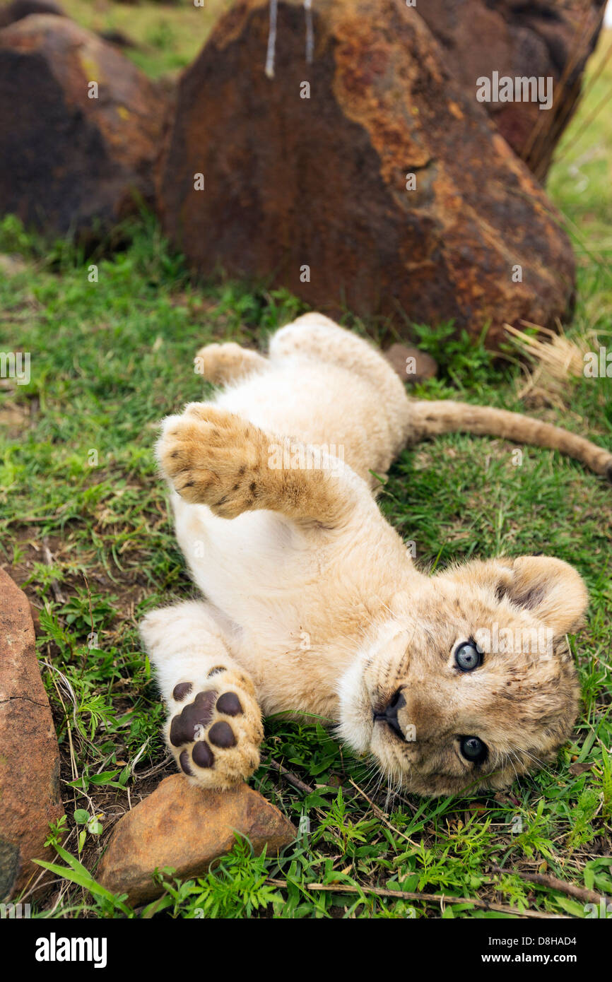 Lion cub rolling on its back playing - Stock Image